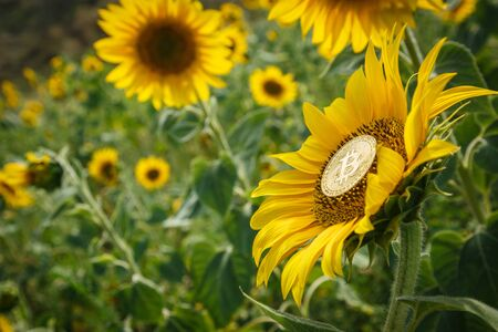 Bitcoin is growing along with sunflower