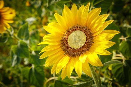 Golden Bitcoin and Golden Sunflower Stok Fotoğraf