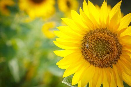 Beautiful yellow sunflower in summer Stok Fotoğraf