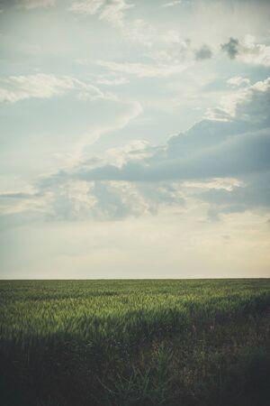 Grand champ de blé vert le soir au coucher du soleil en été