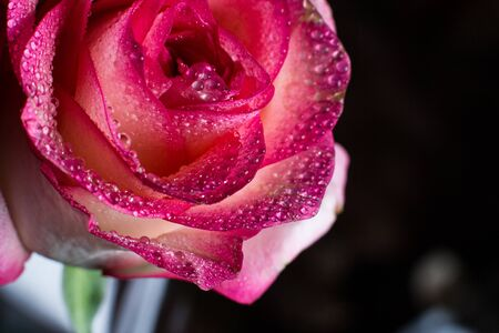 Beautiful pink rose with white shades and dew drops on a black background