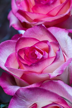 Beautiful pink rose with white shades and dew drops on a black background Standard-Bild