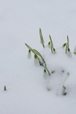 Beautiful snowdrops grew in winter from the snow in the morning