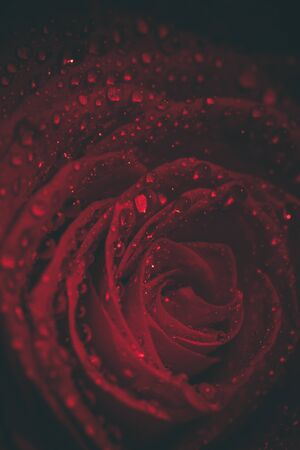 Beautiful red rose in dark colors with dew drops.