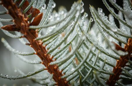 Drops of dew on the needles of a Christmas tree after morning rain in autumn Stock fotó