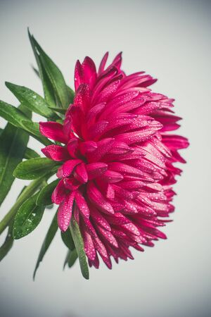 Beautiful and delicate Red chrysanthemums with dew drops very close for a gift