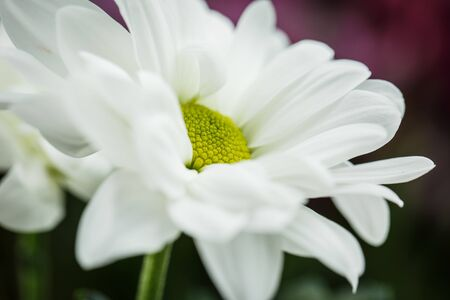 Beautiful white chrysanthemums that bloomed in summer closeup