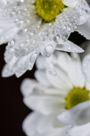 Beautiful white chrysanthemums that bloomed closeup with dew drops on the petals after rain.