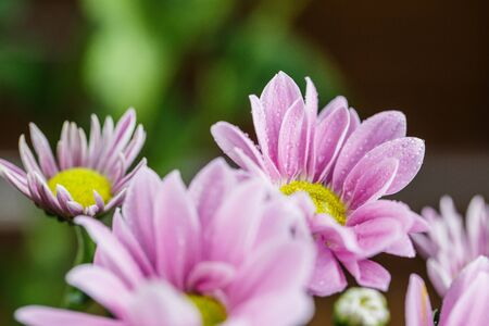 Beautiful delicate pink chrysanthemums with dew drops after the rain is very close Фото со стока - 136612482
