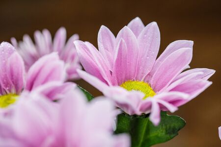 Beautiful delicate pink chrysanthemums with dew drops after the rain is very close Standard-Bild