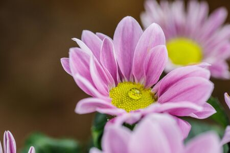 Beautiful delicate pink chrysanthemums with dew drops after the rain is very close Фото со стока