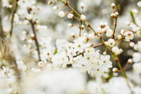 L'arbre fleurit magnifiquement avec des fleurs blanches au printemps