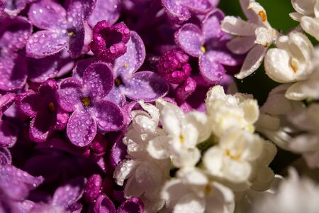 Lilac blossomed in spring, macro view, close