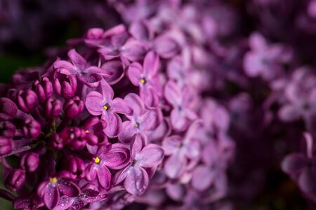 Lilac blossomed in spring, macro view, close Standard-Bild