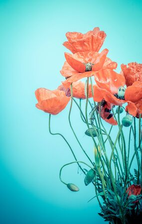 Red poppy flower on a blue background