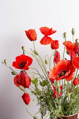 Red poppy flower on white background, close
