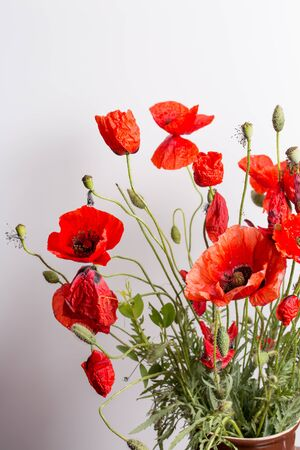 Red poppy flower on white background, close