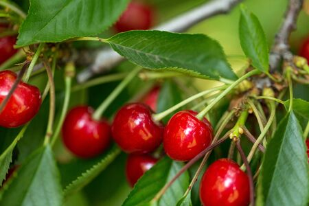 Ripe sweet cherry on a tree branch in summer 스톡 콘텐츠