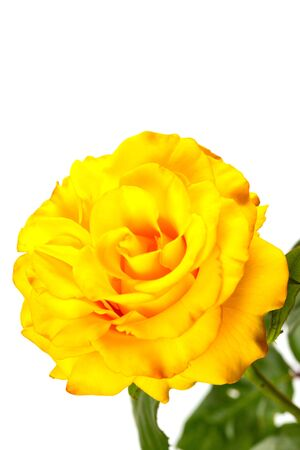 Beautiful yellow rose with green leaves on a white background, for gift or decor