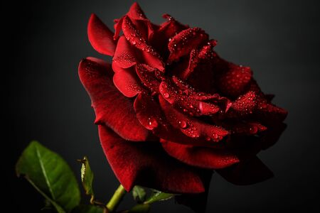 Red rose with dew on a black background Фото со стока - 150474238
