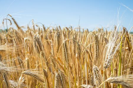 Golden fields of wheat. Spikelets of ripe grains are ready for harvest. Stok Fotoğraf