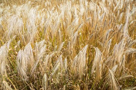 Golden fields of wheat. Spikelets of ripe grains are ready for harvest. Banco de Imagens