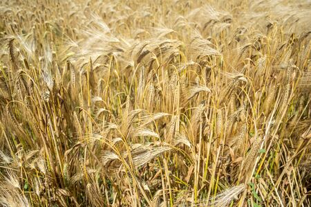 Golden fields of wheat. Spikelets of ripe grains are ready for harvest. 免版税图像