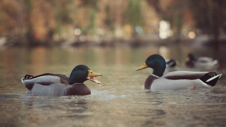 male animal: Two male ducks swimming on the lakes calm surface