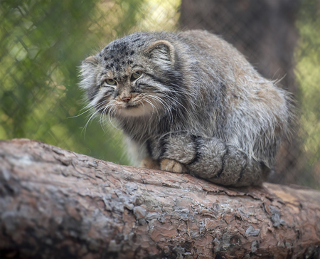 Pallass cat (Otocolobus manul). Manul is living in the grasslands and montane steppes of Central Asia. Portrait of cute furry adult manul is sitting on the branches of a tree