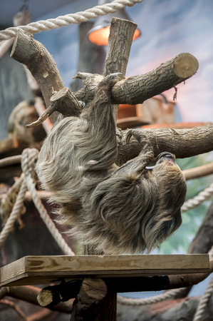 Sloth climbing (Bradypus variegatus) - arboreal mammals noted for slowness of movement and for spending most of their lives hanging upside down in the trees of the tropical rainforests Reklamní fotografie