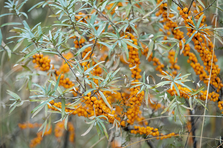 Sea buckthorn bush with yellow berries (Hippophae rhamnoides, Sandthorn, Sallowthorn or Seaberry) Reklamní fotografie