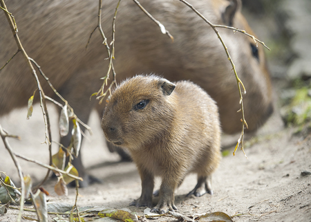 Close up portrait of a cute baby capybara (Hydrochoerus hydrochaeris) with mother in the zoo, selective focus