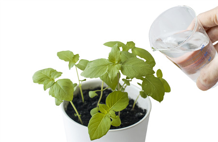 Basil (Ocimum basilicum), Great Basil or Saint-Josephs-wort in flower pot. Hand nurturing and watering young baby plants growing on fertile soil with white background. Gardening concept