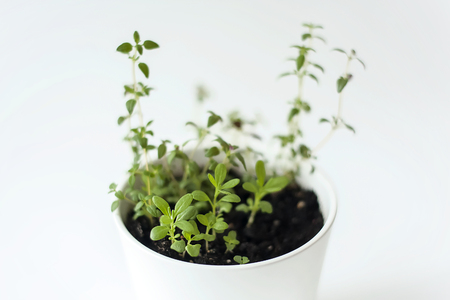 Thymus vulgaris (Common thyme, German thyme, Garden thyme) and Rosemary (Rosmarinus officinalis) seedlings  in white pot. Green aromatic herb, young plants, leaves. Gardening concept. Healthy food