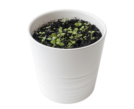 Mentha (Mint, Mintha) seedlings in pot. Very young plants. Gardening concept. White background Reklamní fotografie