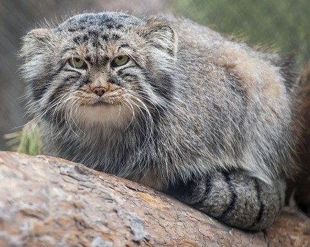 Pallass cat (Otocolobus manul), also known as the manul