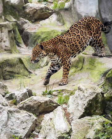 Jaguar (Panthera onca) wild cat species, genus Panthera native to the Americas. Largest native cat species of the New World and the third largest in the world Reklamní fotografie