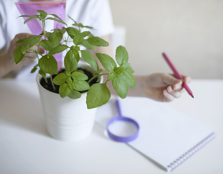 Schoolgirl in a biology or botany class measure a sprouted green plant with a ruler. Basil leaves. Growing plants. Child writing data into questionnaire. Environmental education. Ecology concept