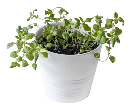 Marjoram (Origanum majorana) seedlings in white pot. old-sensitive perennial herb with sweet pine and citrus flavors. Green aromatic herb, young plants, leaves. Gardening concept. Healthy food Reklamní fotografie