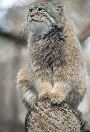 Gato de Pallas (Otocolobus manul). Manul vive en las praderas y las estepas montañosas de Asia Central. Retrato de lindo manul adulto peludo está sentado en las ramas de un árbol