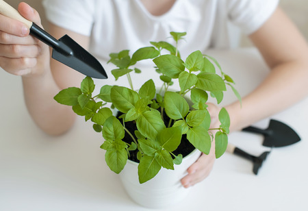 Little child playing with toy garden tools. Plant Basil (Ocimum Basilicum). Caring for a new life. Hand nurturing young baby plants growing on fertile soil. Gardening concept