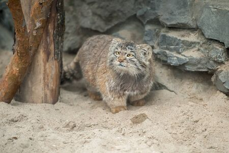 Pallas's cat (Otocolobus manul), also known as the manul 版權商用圖片