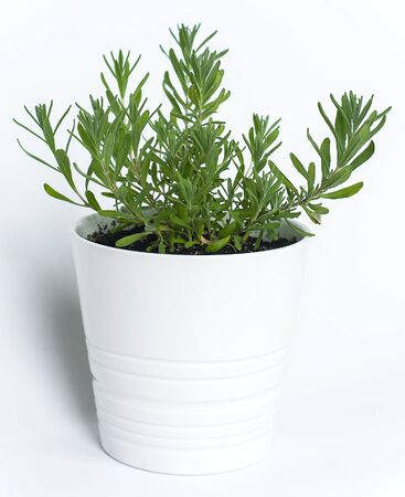 Rosemary (Rosmarinus officinalis) growing in a flower clay pot on white background. Green aromatic italian herbs, young plants, leaves. Gardening concept. Healthy food 版權商用圖片