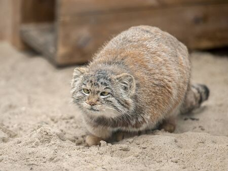 Pallas's cat (Otocolobus manul). Manul is living in the grasslands and montane steppes of Central Asia. Cute furry adult manul on the sand 版權商用圖片