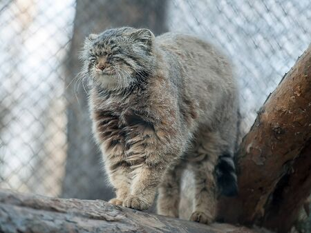 Pallas's cat (Otocolobus manul). Manul is living in the grasslands and montane steppes of Central Asia. Cute furry adult manul on the branches of a tree