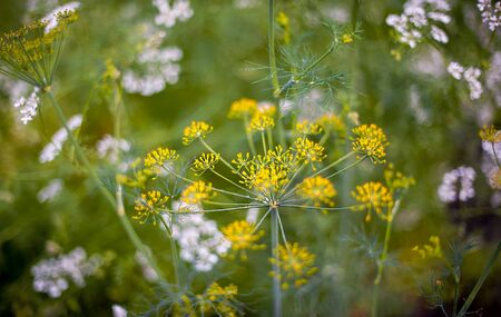 Fennel blossoms. Fennel flowers. Fennel seeds. Seasoning for food. Fennel in a garden 版權商用圖片