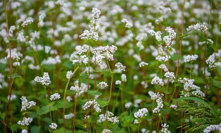 Close up of white blooming flowers of buckwheat (Fagopyrum esculentum) growing in agricultural field. Sunny summer day