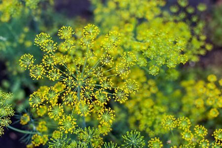 Fresh dill (Anethum graveolens) growing on the vegetable bed. Annual herb, family Apiaceae. Top view