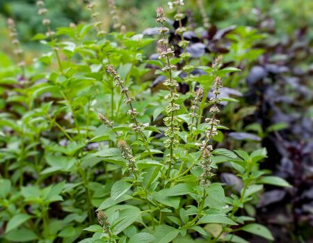 Green and healthy basil (Ocimum basilicum) seedling plant growing in organic garden soil close up