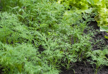 Fresh dill (Anethum graveolens) growing on the vegetable bed. Annual herb, family Apiaceae.  Growing fresh herbs. Green plants in the garden, ecological agriculture for producing healthy food concept